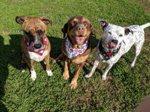 Synder the Pitbull, Charlie the Labrador and Henry the Pitbull