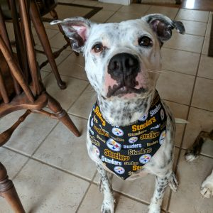 Henry in Pittsburgh Steelers Bandana
