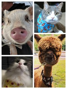 Jack the Cat, Majesty the Alapca, Snow the Cat and Willa the Pig in Bandanas