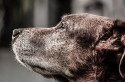 Senior Chocolate Labrador