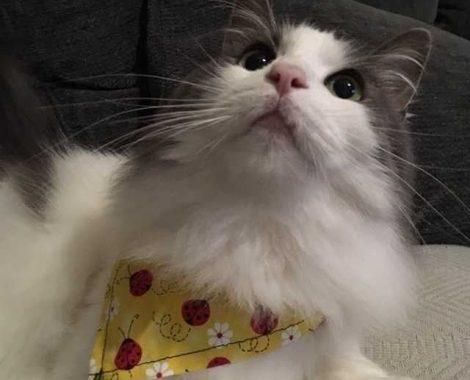 Snow the Cat in a Lady Bug Bandana